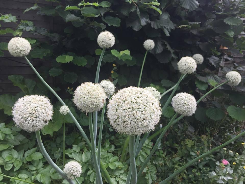 onions flowering