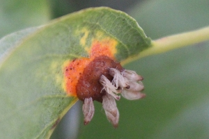 Pear-rust-gall-and-spores